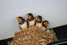 Swallow Chicks Are Asked To Eat