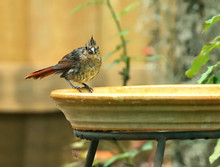 Juvenile Northern Cardinal Bird With Red Tail Feathers And No Color Change On It's Beak Yet.