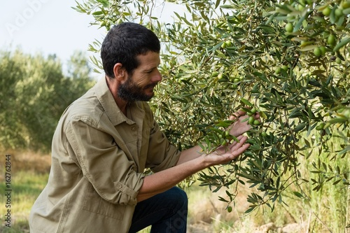 Tuinposter Olijfboom Farmer checking a tree of olive