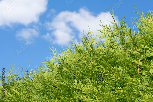 Lebensbaum Thuja Hecke Buy This Stock Photo And Explore Similar