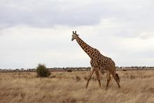 Giraffa In Libertà Nella Savana