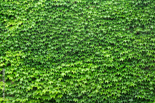 wall of leafs vine full green texture background garden foliage nature pattern Obraz na płótnie