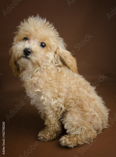 Apricot Toy Pure Bred Poodle Puppy In A Teddy Bear Clip With A Brown