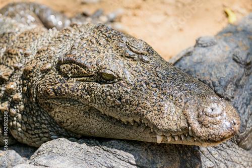 Foto op Plexiglas Krokodil The crocodile with open jaws eating looking sleeping