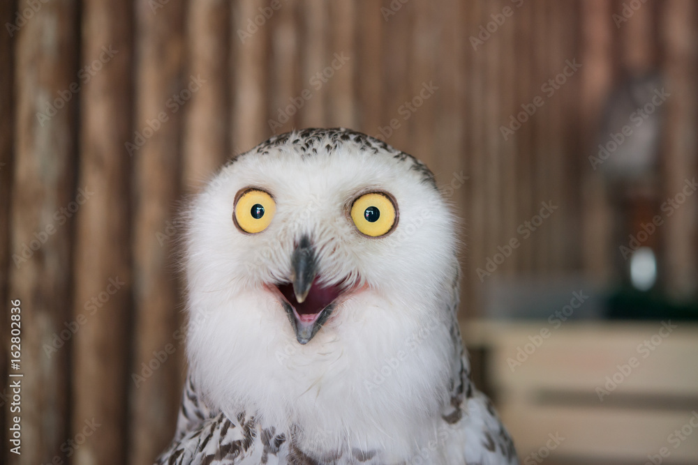 Fototapety, obrazy: Close up snowy owl eye with wooden background