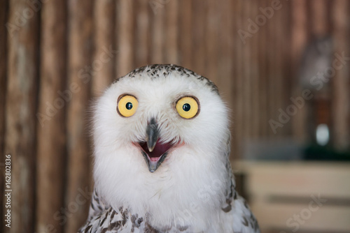Stampa su Tela  Close up snowy owl eye with wooden background