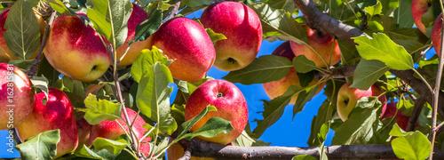 Fundo com maçãs.
