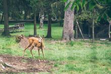 Young Deer Walking At A Park