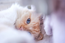 Cute Blue Eyed Ragdoll Cat Laying With Soft Blurred Foreground