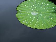 Water Drop, Dew On Lotus Leaf, Close Up