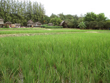 Vibrant Green Paddy Field With...