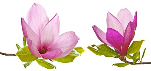Naklejka Do sypialni pink magnolia flowers on a white background