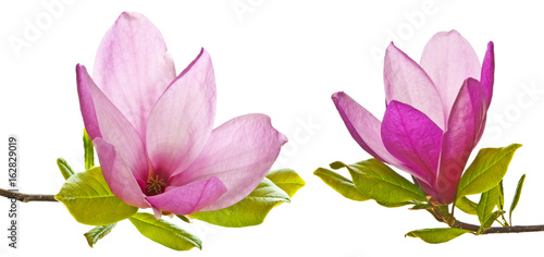 Foto op Plexiglas Magnolia pink magnolia flowers on a white background