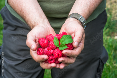 A male's hands holding a handful of raspberries