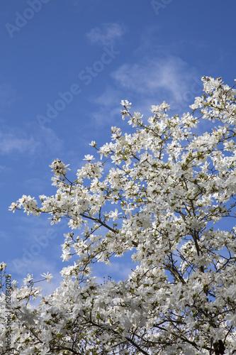 Foto op Plexiglas Magnolia Blossom on Tree Branch in Spring; Stockholm