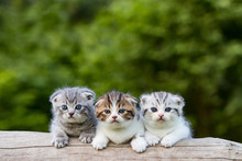 Scottish Fold, Beautiful Kitten On Timber Over Blur Green Forest Background