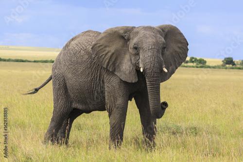 Plakat Słoń stoi patrzejący kamerę w Masai Mara w Kenja