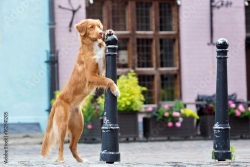 Fotografía nova scotia duck tolling retriever dog posing in the city