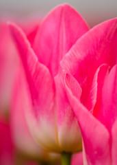 Panel SzklanyMacro Pink Tulips