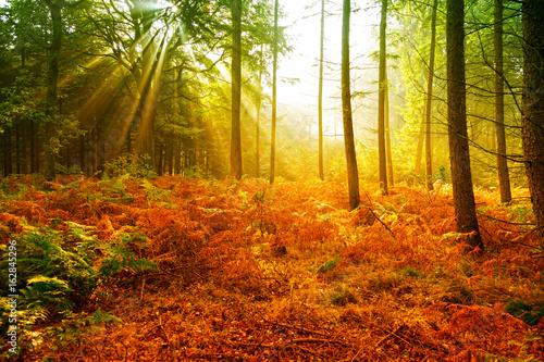 Herbstwald in der Morgensonne Wallpaper Mural