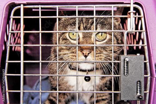 Fotografie, Obraz  Tabby cat inside cat carrier on his way to the vet.