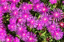 Ice Plant Delosperma Cooperi Pink Flower Field