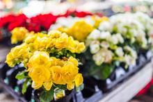 Macro Closeup Of Yellow Begonia Flowers In Flower Pot On Display