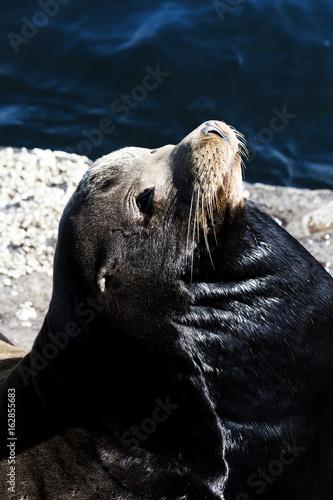 Photo  Elephant Seal Basking On Rock Monterey California