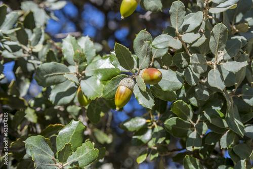 Close up of foliage and acorns of Holm Oak, Quercus ilex subsp. rotundifolia. Photo taken in Hoyo de Manzanares, province of Madrid, Spain