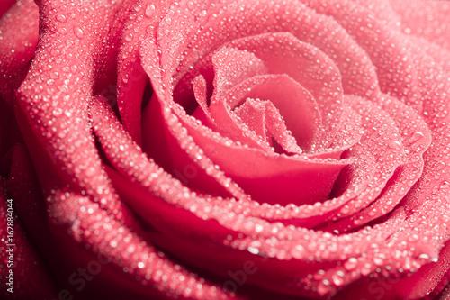 Rosa llena de rocío
