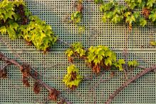 Background With Grape Leaves O...