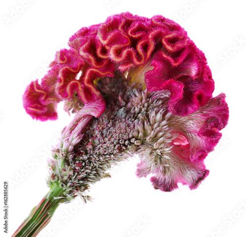 Obraz na plátně Beautiful cockscomb flower on white background
