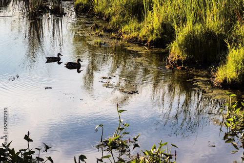 Fotografie, Obraz  duck family swimming and looking for breakfast at dawn