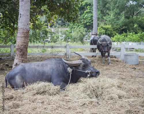 Keuken foto achterwand Olijf Black buffalo grazing
