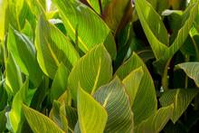 Wide Green Leaves Like A Backd...