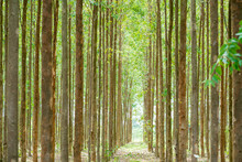 Eucalyptus Forest  For Paper I...