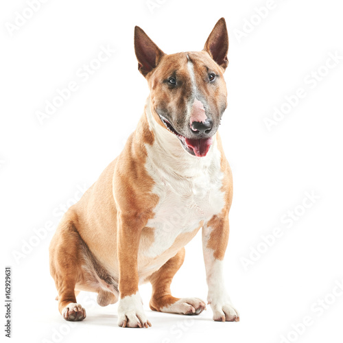Tableau sur Toile portrait of purebreed bull terrier sitting on white background with copy space