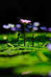 Purple lotus and dragonfly Beautiful visual elements Beautiful backdrop.