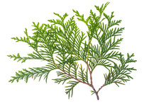Thuja Branch Isolated Isolated...