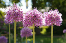 Allium Globemaster Purple Flow...