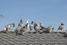 Homing Pigeons Sitting On The Roof Of A House On A Blue Sky