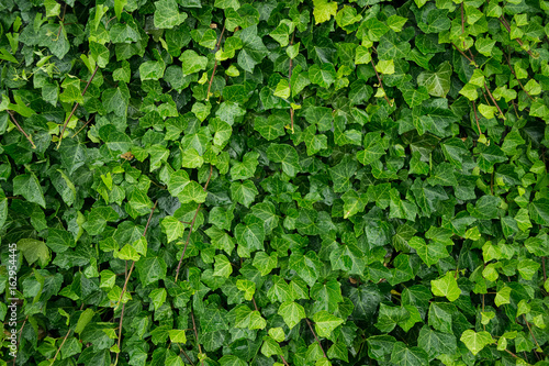 Ivy Canvas