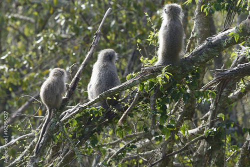 Fotografie, Obraz  Vervet Monkey, South Africa