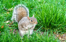 Eastern Gray Squirrel In New Y...