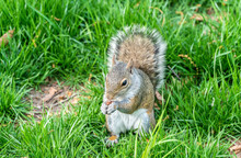 Eastern Gray Squirrel Eating A...