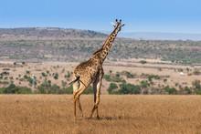 Giraffe Looking Into The Distance, Kenya. Africa.