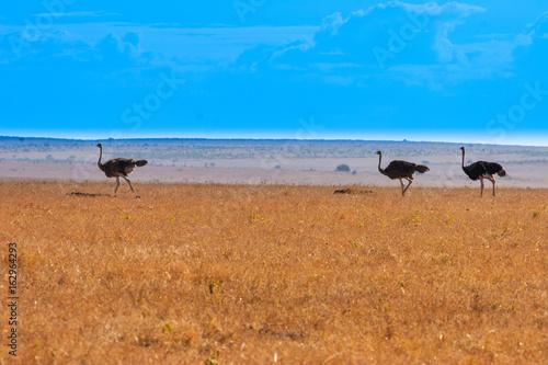 Straus. Kenya. Africa.