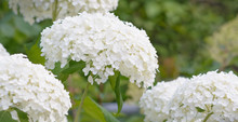 Inflorescence Of A White Hydrangea