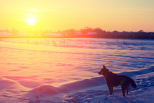 A Dog Walks In A Snowy Field I...