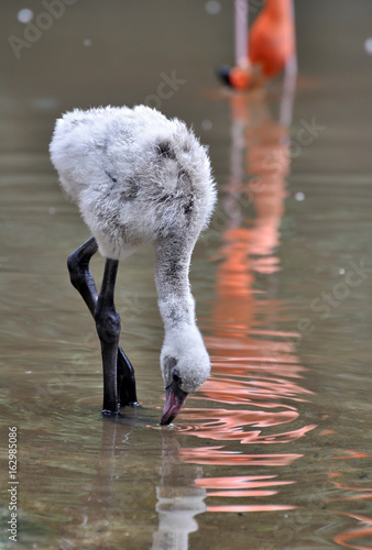 Baby American flamingo chick, Phoenicopterus ruber, feeding in shallow water in the reflection of a parent